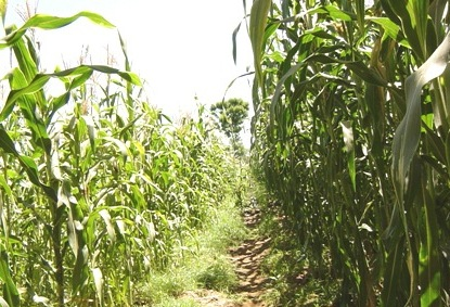 Water Delivery Study for Smallholder Rice Irrigation Schemes in Districts Bordering Lake Victoria