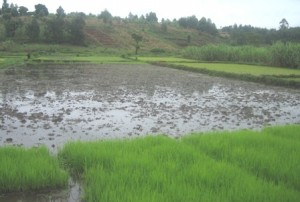 Scheme Inventory and Priority Ranking for Smallholder Rice Irrigation Schemes in Districts Bordering Lake Victoria