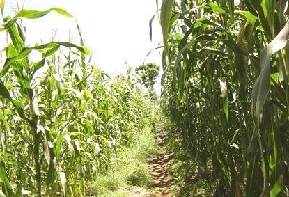 Lokubae Irrigation Scheme